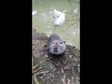 Водяная крыса и гуси)- урок умывания!
