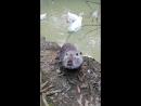 Водяная крыса и гуси урок умывания