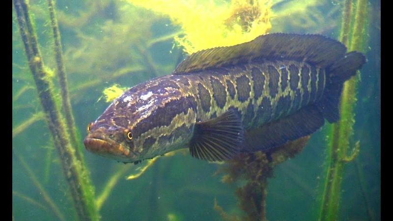 Подводная охота на Балхаше. Змееголов и другие рыбы.