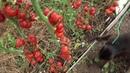 томаты август