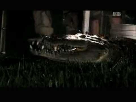 Агрессивное поведение острорылого крокодила