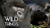 Gorilla Brothers Mourn Their Dead Father Wild Things