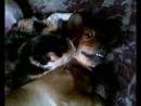 2014 г август ЗАБОТА КОШКИ О СОБАКЕ мои животинки Пеструшка кошка 8 лет и Сёмка помесь с таксой Видео 0025