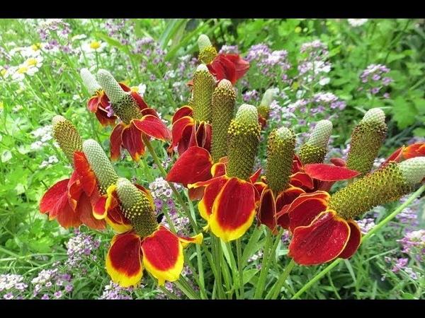 Ратибида Мексиканская шляпка выращивание из семян Посев и всходы за 4 дня №1