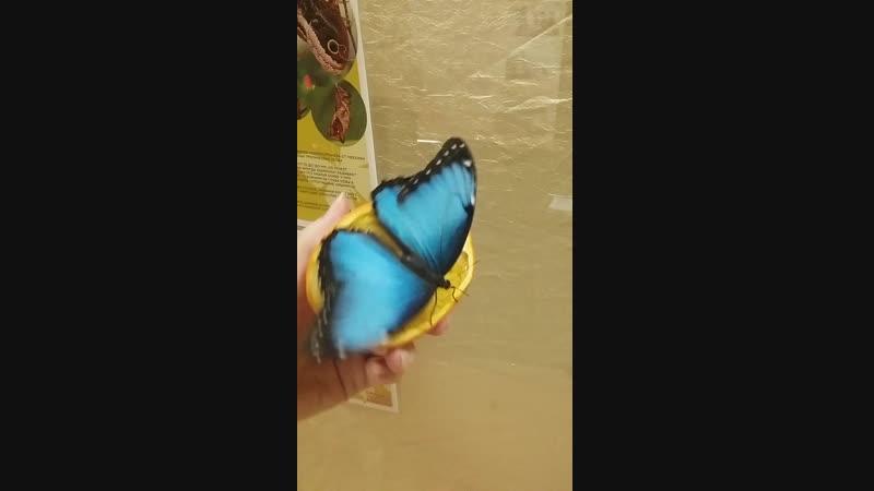 Невероятная Голубая Морфа