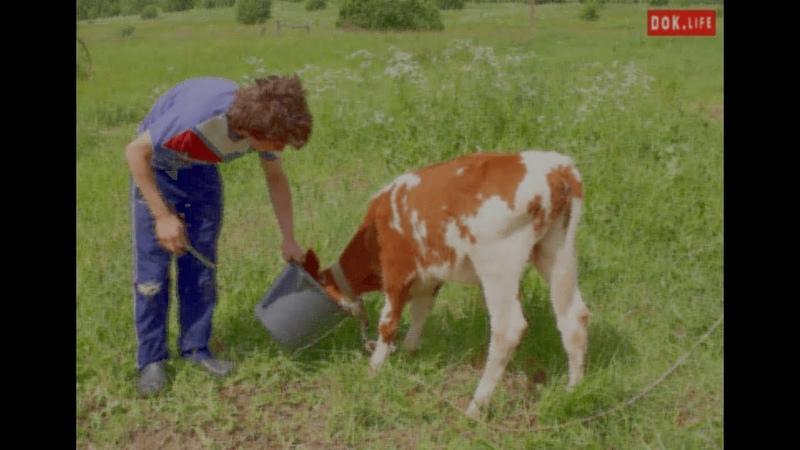Мартин, помогает отцу кормить бычков, попутно рассуждая о романе Лермонтова Герой нашего времени