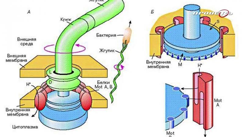 Кто встроил электромотор в бактерии Выдает 100 000 об_мин