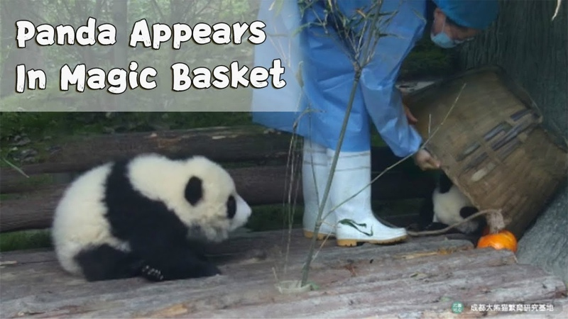 Could This Be The Secret To The Birth Of Panda Babies iPanda