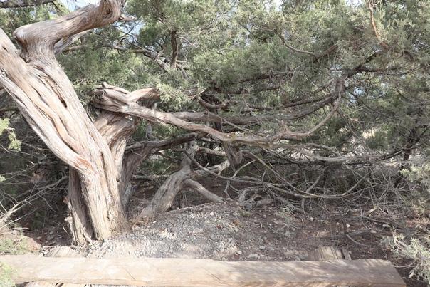 Красивые деревья — фишка Крыма. Приятная же лавочка, м?