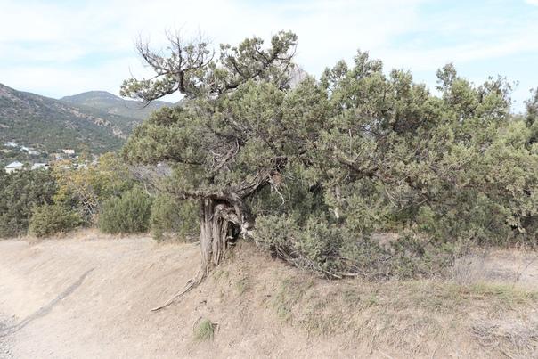 Красивые деревья — фишка Крыма