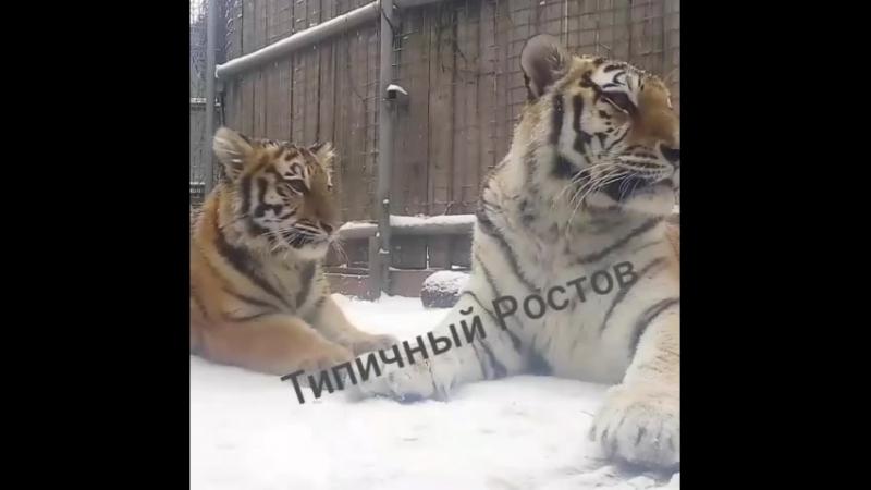 Тигрица Прима и малышка Яшма в ростовском зоопарке. Типичный Ростов