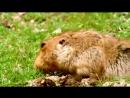 Big-headed Mole Rat _ AMAZING ANIMALS