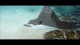 Электрический скат, видео скаты в аквариуме на острове Сентоза, Сингапур