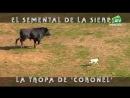 Toros para todos 18-03-2018. Coronel, un semental y sus problemas con las vacas