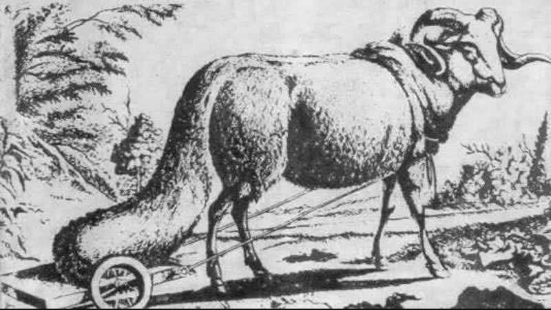 Крымские овцы возили на тележках свои хвосты