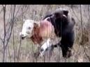 Молодой медведь пытается задрать бычка. Горный Алтай. 2018, осень