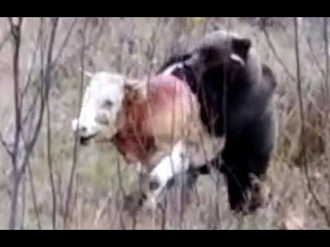 Молодой медведь пытается задрать бычка Горный Алтай 2018 осень