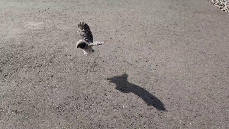 Как сова Ива училась летать
