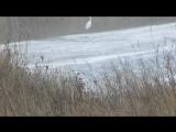 Белая цапля - символ весны... или зимы?)))