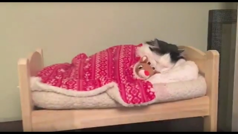 Cat Puts Herself to Sleep in Tiny Human Bed