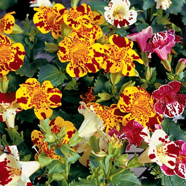 МИМУЛЮС - ГУБАСТИК Свое название «мимулюс» растение получило от латинского слова «mime», т.е. «шут», из-за яркой, пестрой и изменчивой окраски цветов. А в народе мимулюс часто