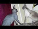 Канадский сфинкс Муфаса и сиамская кошка Разборки