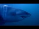 Документальные фильмы! Суперхищники Большая белая акула Документальный фильм