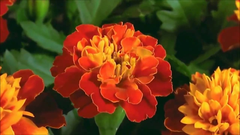 Beautiful and colorful blooming roses, lily, daisy, marigold, iris and more flowers time lapse