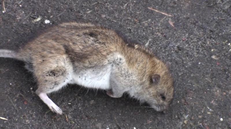 Крыса стала убивать взрослых голубей и выпила яйца