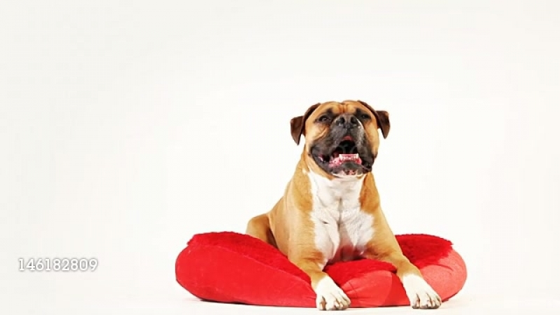Boxer dog on a mat