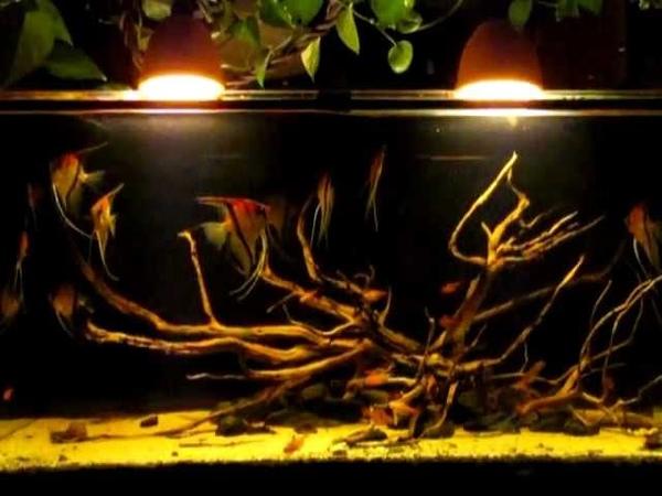 A Black water biotope - Pt. Scalare Manacapuru