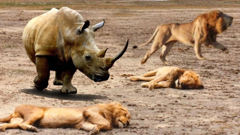 Family Lions sleeping sudden Crazy Rhino attack, Baby Lion lucky escape, Rhino vs Hyena