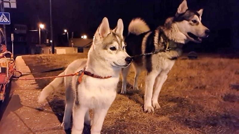 маленький щенок хаски Рокки / новая собака и первая прогулка