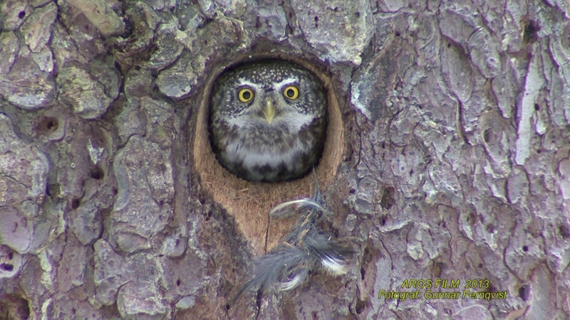 SPARVUGGLA Eurasian Pygmy Owl (Glaucidium passerinum) Klipp - 1978