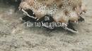 Дайвинг на Ко Тао - морские огурцы и черви Новогодняя елка