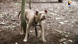 Pit Bull Left Tied To Tree In The Woods The Dodo