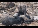 Слониха начала тонуть к маме в помощь побежал ее слоненок. Вот что случилось дальше