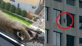 Daredevil Raccoon That Scaled Minnesota Skyscraper Becomes Internet Sensation