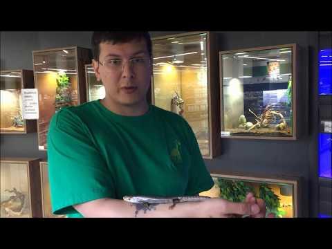 Молодой Сцинк Джеррарда в Dino Zoo