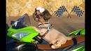 Милашка Кенди Катается на Игрушечной Машинке | Собачка VS Гоночные Машины