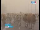 «Некультурная дорога». В с. Анга туристы и паломники делят дорогу с коровами
