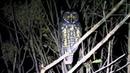 Stygian owl / Центральноамериканская ушастая сова / Asio stygius