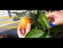 Ankara'da Kasım ayının ortasında yetiştirdiğimiz portakalı hasat ettik