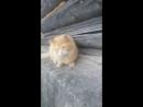 наглый ухажер моей кошки