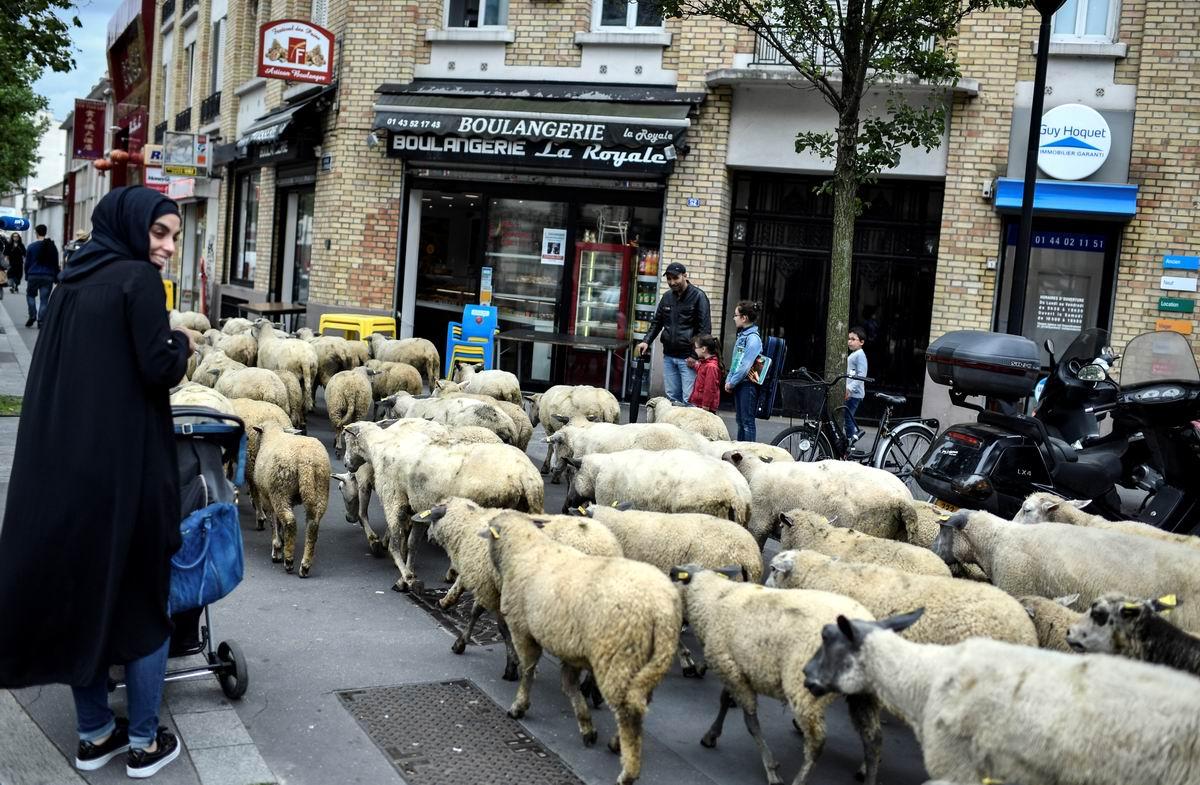 Ее любимые создания: Арабская девушка и овцы на улице в пригороде Парижа
