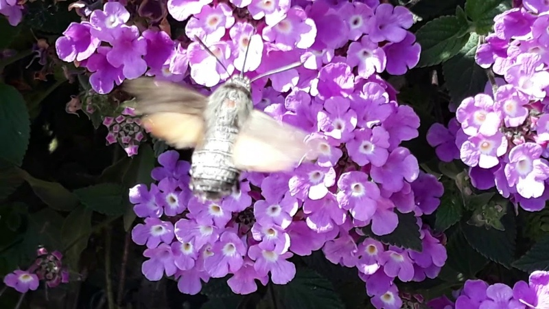 Сolibri butterfly or Hummingbird Hawk-moth (Macroglossum stellatarum)