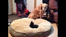 ПОПРОБУЙ НЕ ЗАСМЕЯТЬСЯ - Смешные Приколы и фейлы с Животными до слез, смешные коты 77