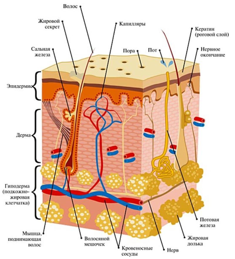 Схема кожи человека, в том числе потовых желез