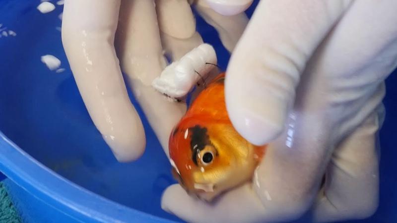 Goldfish Buoyancy Surgery