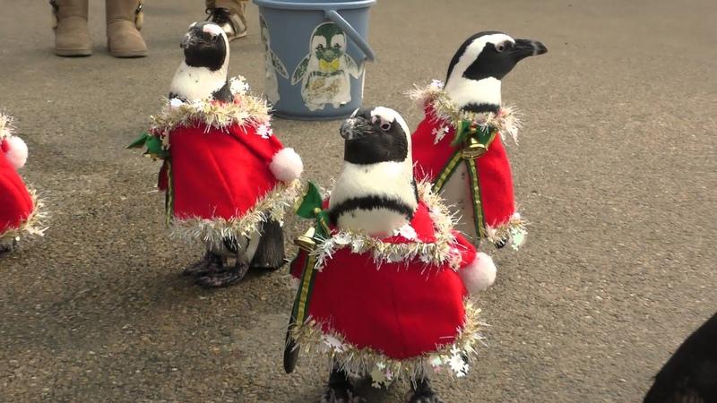 """4K ・松江フォーゲルパーク・ペンギンのお散歩""""Penguin walking Christmas Ver.:Matsue Vogel Park""""(クリス1"""
